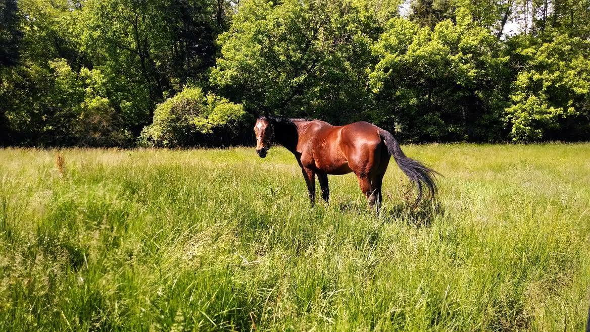 Beautiful horse grazing a tall grass field with trees in the background